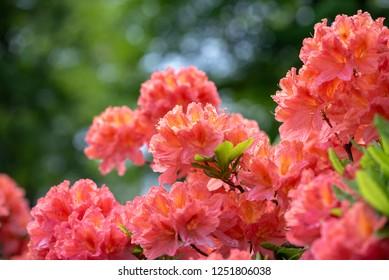 Renge azalea flower