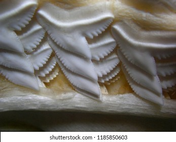 replacement teeth of tiger shark, Galeocerdo cuvier