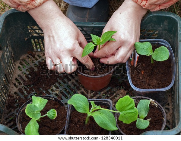 Replanting young vegetable seedlings to separate pots, on spring