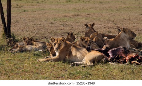 a replete and relaxing pride of lioness with cubs next to kill in Seronara - Serengeti, Tanzania