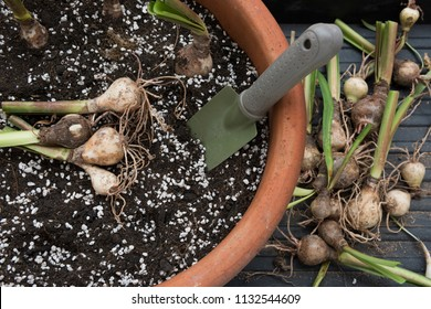 Re-potting bulbs plant into a pot of fresh soil mixture with perlite.