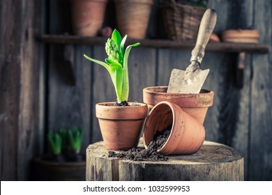 Repotting green plants and red old pots