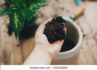 Repotting plant concept. Dirty hand holding new soil at empty new pot and gardening stylish tools, green plant on wooden floor. Preparing for repotting dumbcane into new modern pot.