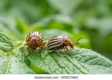 Reproduction of colorado potato beetles in potato leaves.Colorado beetle, potato parasite. Close-up leptinotarsa potato beetle, Decemlineata, potatoes parasites, leptinotarsa, potatoes beetles