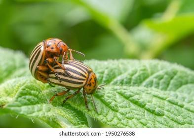 Reproduction of colorado potato beetles in potato leaves.Colorado beetle, potato parasite. Close-up colorado potato beetle, Decemlineata, potatoes parasites, leptinotarsa, potatoes beetles in mating.