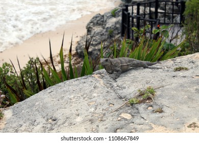Reptail over rock