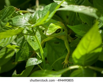 Reptile. Green crested lizard Bronchocela cristatella hunting the insects and mimicking the leaves in its natural environment. This animal changes color to brown when threatened.