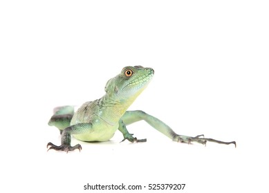 reptile isolated on white background