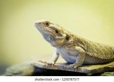 Reptile lawson dragon