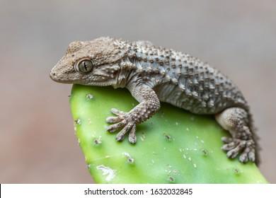 reptile, lizard, gecko, Tarentola mauritanica