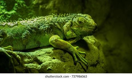 reptile.lizard