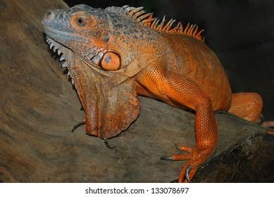 Reptiles,Orange lizard sitting on a tree.