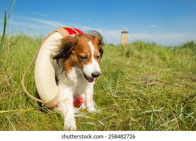 Rescue dog at the Dutch island Terschelling with lighthouse the Brandaris
