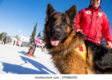 Rescue dog at Mountain Rescue Service at Bulgarian Red Cross is cheering during a training course, Vitosha mountains, Bulgaria, January 28, 2016.