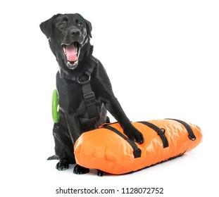 rescue labrador retriever in front of white background