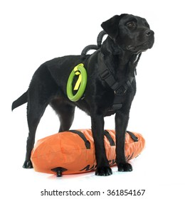 rescue labrador retriever in front of white background