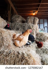 rescued chickens resting on hays in a local farm sanctuary