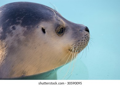 Rescued Harbour Seal or common seal (Phoca Vitulina)