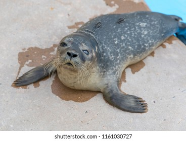 Rescued Harbour Seal Pup with a eye infection
