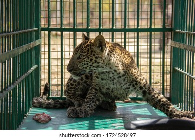 Rescued Indian Leopard cub in cage