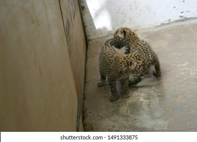 Rescued Indian Leopard Cubs playing