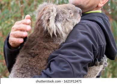 rescued koala in australia after bush fire devastation