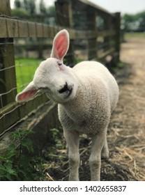 Rescued lamb. Animal sanctuary. Little lamb.