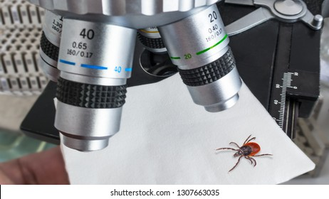 Research of deer tick under a microscope in a laboratory. Ixodes ricinus. Dangerous parasitic insect. Carrier of infections as encephalitis and Lyme disease. Idea of healthcare, medicine and science.