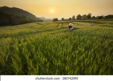 Research & Development the Barley Field at Samoeng Chiang Mai, Thailand
