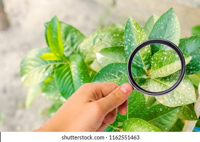 research of plants / bushes on pesticides and chemicals. treating plants from harmful insects, liquid feeding, Use hand sprayer with pesticides in the garden. pomology. magnifying glass
