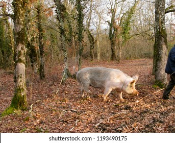 Researcher of black truffle with pig in Perigord, France