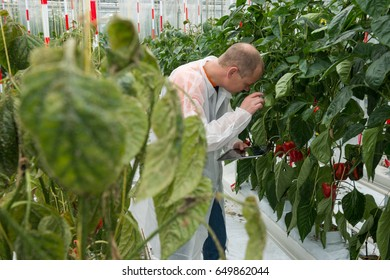 Researcher Examining Bell Pepper Plants In Greenhouse