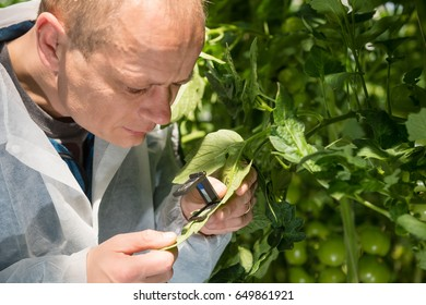 Researcher Examining Leaf With Magnifier At Greenhouse