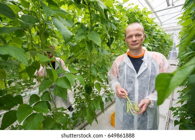 Researcher Holding Green Beans In Greenhouse
