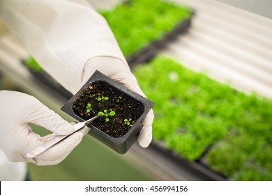 Researcher holding transgenic plants in the growth chamber