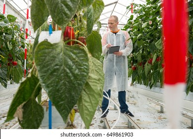 Researcher Using Tablet Computer By Bell Pepper Plants In Greenhouse