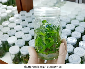 Researchers are examining aquatic plants in a tissue culture room. To be sold in the market. Plant tissue culture is a techniques used to grow plant cells under sterile conditions.