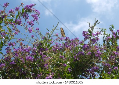 Reseda, CA, 06/20/2019, the tiger swallowtail looks very beautiful  as it flutters over the bushes sipping nectar in the sun