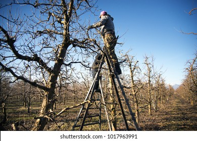 RESEN, MACEDONIA. JANUARY 27 , 2018- Farmer pruning apple tree in orchard in Resen, Prespa, Macedonia. Prespa is well known region in Macedonia on producing high quality apples.