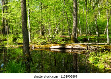 Reserve forest in the National Park Belovezhskaya Pushcha, Poland. Bialowieza. UNESCO World Heritage