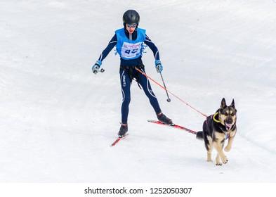 Reshetiha, Nizhniy Novgorod Oblast, Russia - 02.25.2017 - Siberian Husky sled dog race skijoring competition. Skier man skiing with Husky dog in harness.