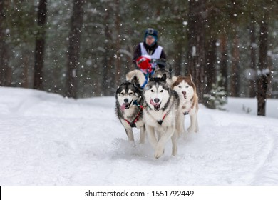 Reshetiha, Russia - 02.02.2019 - Sled dog racing. Husky sled dogs team pull a sled with dog driver. Winter competition.