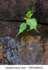 Resilience of nature. A fresh green shoot growing from a crack in a cement, concrete wall in hostile, urban surroundings.