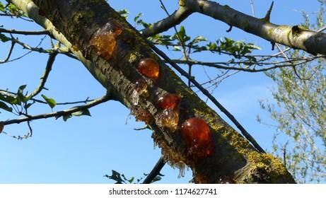 Resin effluent, hydrocarbon secretiont of Japanese cherry (Prunus serrulata). Location: Hanover distrct, Germany