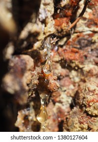 resin on the bark of spruce. forest