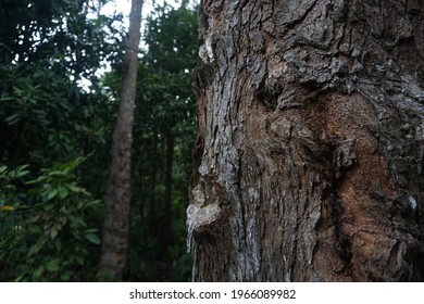 resin tree with white sap in the forest, white  light sap from sumatera