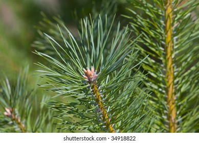 Resinous branches of a pine
