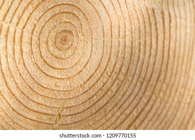The resinous layer in the fresh saw cut wood. Circular layers of resin in a smooth saw cut of the tree. Tree rings in wood.