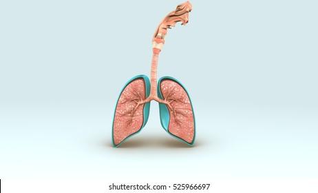 The Respiratory System 3d illustration
