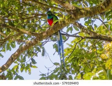 A Resplendent Quetzal in Costa Rica
